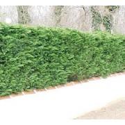Cupressus Sempervirens Horizontalis - 10 graines