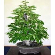 Diospyros Lotus - 10 graines