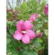 Hibiscus Syriacus - 10 graines