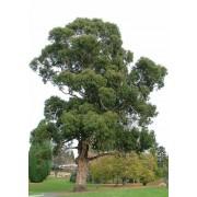 Eucalyptus Globulus - 10 graines