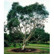 Eucalyptus Niphophila - 10 graines