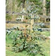 Eucalyptus Nitens - 10 graines