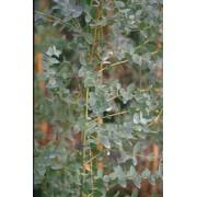 Eucalyptus Parviflora - 10 graines