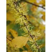Hamamelis Virginiana - 10 graines