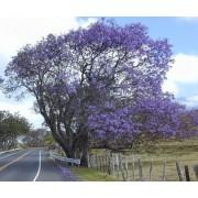 Jacaranda Mimosifolia - 10 graines