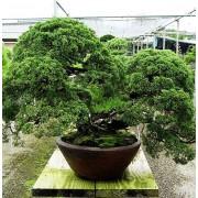 Juniperus Chinensis - 10 graines