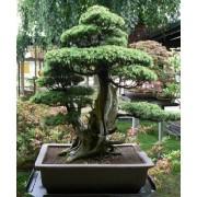 Juniperus Rigida - 10 graines
