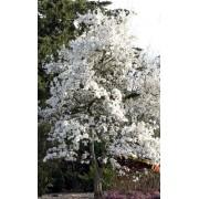 Magnolia de Kobe - 10 graines