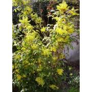 Mahonia Aquifolium - 10 graines