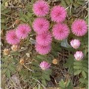Mimosa Quadrivalvis nutallii - 10 graines