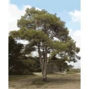 Pinus Brutia - 10 graines