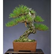 Pinus Densiflora - 10 graines