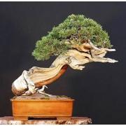 Pinus Mugo - 10 graines