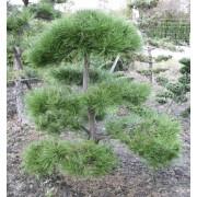 Pinus Nigra Austriaca - 10 graines