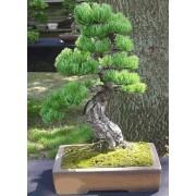 Pinus Parviflora - 10 graines