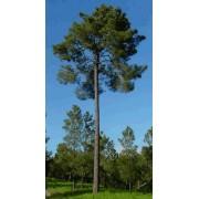 Pinus Pinaster - 10 graines