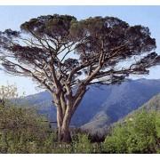 Pinus Pinea - 10 graines
