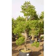Pinus Sylvestris - 10 graines