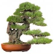 Pinus Thunbergii - 10 graines