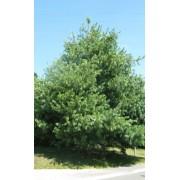 Pinus Wallichiana - 10 graines