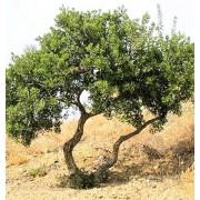 Pistacia Lentiscus - 10 graines