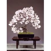 Prunus Amygdalus -10 graines