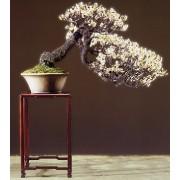 Prunus Armeniaca - 10 graines