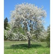 Prunus Avium - 10 graines