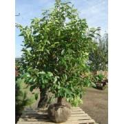 Prunus Lusitanica - 10 graines