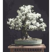 Prunus Mahaleb - 10 graines