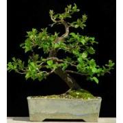 Prunus Padus - 10 graines