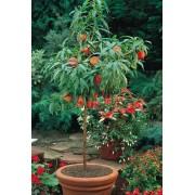 Prunus Persica - 10 graines