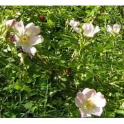 Rosa Canina - 10 graines