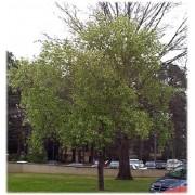 Prunus Serotina - 10 graines