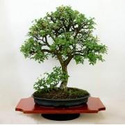 Prunus Spinosa - 10 graines