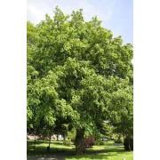 Pterocarya Fraxinifolia - 10 graines