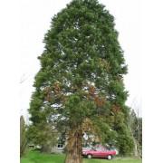 Sequoïa Giganteum - 10 graines