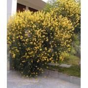 Spartium Junceum - 10 graines
