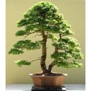 Tsuga Chinensis - 10 graines