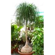 Beaucarnea Goldmanii - 10 graines