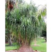 Beaucarnea Guatemalensis - 10 graines