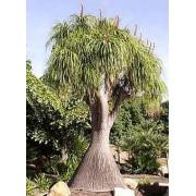 Beaucarnea Recurvata - 10 graines