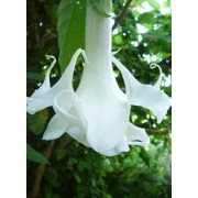 Brugmansia Arborea - 10 graines