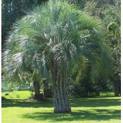Butia Catarinensis - 10 graines