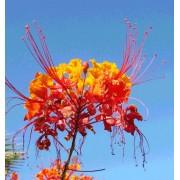 Caesalpinia Pulcherrima - 10 graines