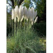 Cortaderia Selloana White - 10 graines
