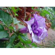 Datura Double Purple - 10 graines