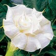 Datura Double White - 10 graines