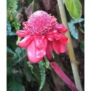 Etlingeria Elatior Pink - 10 graines