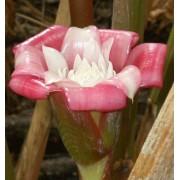 Etlingeria Venusta - 10 graines